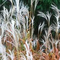 Amur Silvergrass