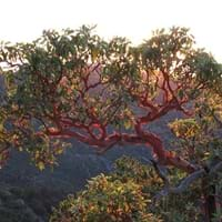 Arizona Madrone