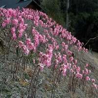 Belladonna Lily