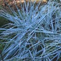Blue Lyme Grass