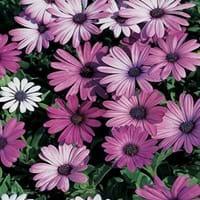 Blue Eyed Daisy Plant