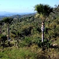 Buri Palm