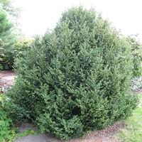 Buxus Green Mountain