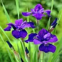 Caesar Siberian Iris