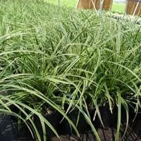 Carex Grass Evergold