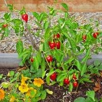 Cherry Bomb Pepper