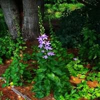 Chimney Bellflower