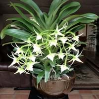 Christmas Star Orchid