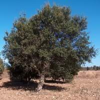 Corn Oak