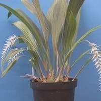 Dendrochilum Orchid