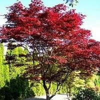 Fireglow Maple