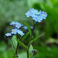 Field Forget Me Not