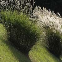 Giant Silvergrass