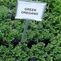 Greek Oregano