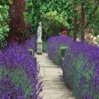 Hedge Lavender