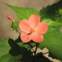 Hibiscus Lesser Mallow