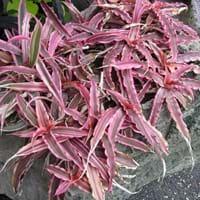 Hybrid Cryptanthus