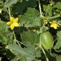 Karit fruit