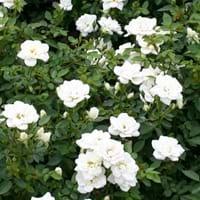 Kiftsgate Rose