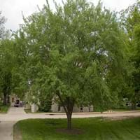 Lacebark Elm