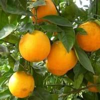 Louisiana Orange