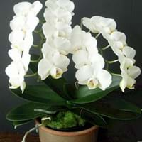 Lovely Moth Orchid