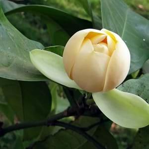 TÌNH YÊU CÂY CỎ  - Page 57 Magnolia-Liliifera269Med_300