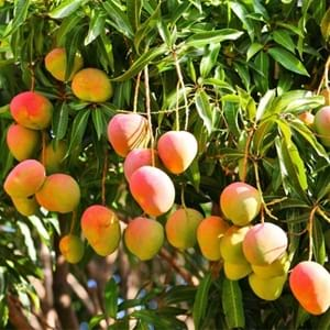 Scientific Name Of Mango Tree