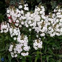 Meadow Phlox