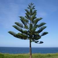 Norfolk Island Pine Facts
