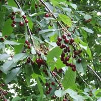 Northstar Tart Cherry