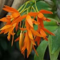 Orange Cattleya