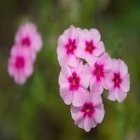 Phlox Plant Flower