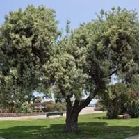 Russian Olive