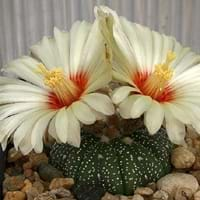 Sand Dollar Cactus
