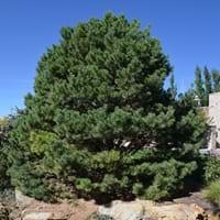 Scot Pine
