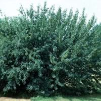 Siberian Peashrub