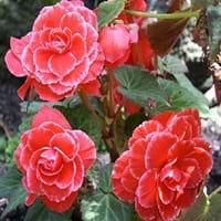 Tuberous Begonia Care
