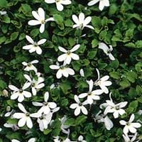 White Star Creeper