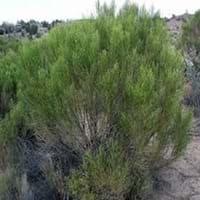 Desert Broom
