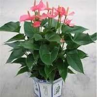 Flamingo Lily