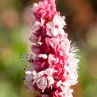 Fleeceflower