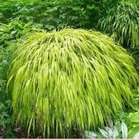 Hakone Grass